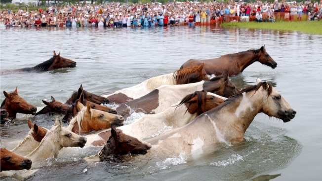 Annual Chincoteague Pony Swim off Va. Set for Wednesday