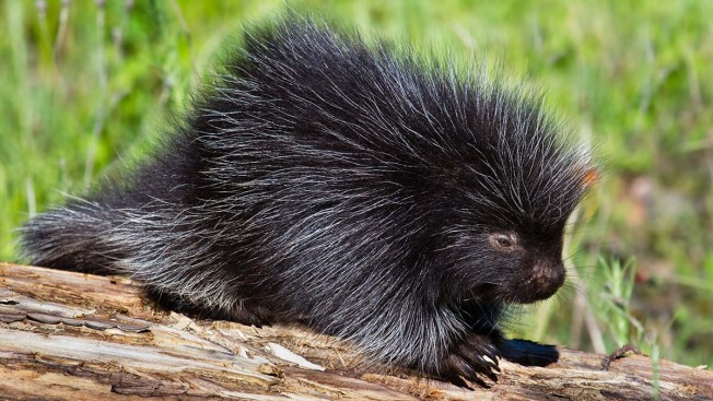 Man Cuts Open Dead Porcupine in Search of Mineral, Saves Baby Instead