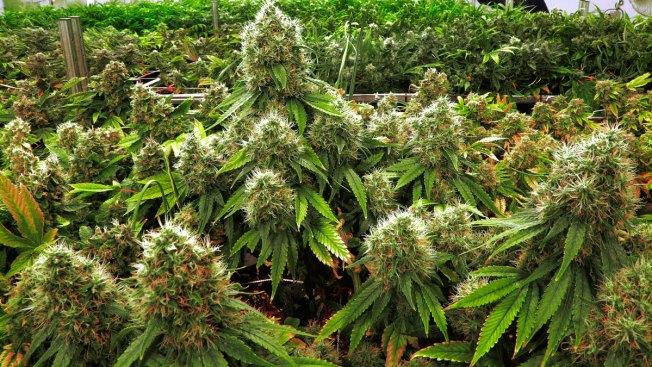 Cancer Docs Feel Unprepared, But Recommend Marijuana Anyway
