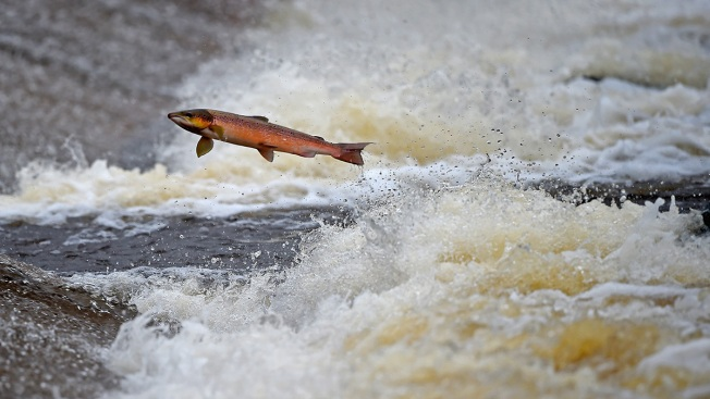 US Regulators Clear Path for Genetically Modified Salmon