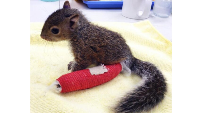 Baby Squirrel on the Mend After D.C. Fall