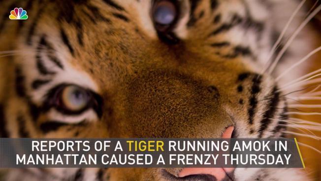 Tiger Reported In Manhattan Cops Find Rac