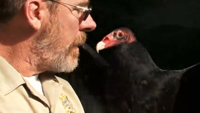 Turkey Vulture Falls in Love With Los Angeles County Animal Keeper