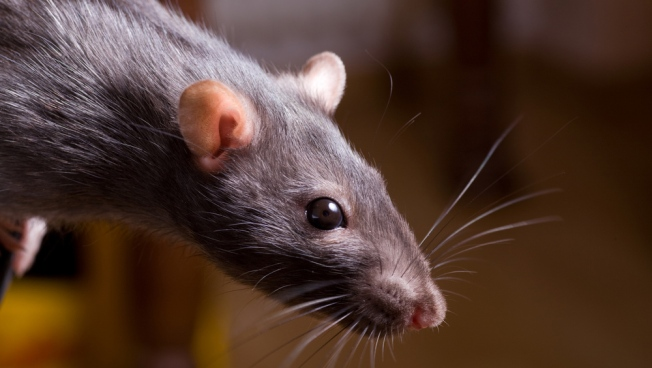 """""""Super Rats"""" Rampage Across Britain"""