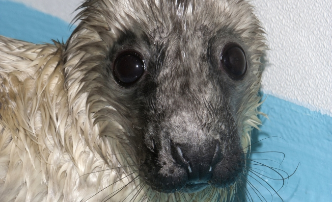Rescued Baby Seal Dies of Infection