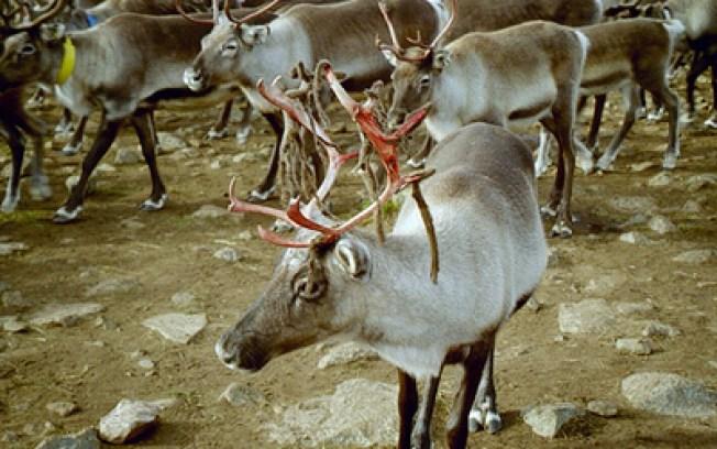 Are Santa's Reindeer Female?