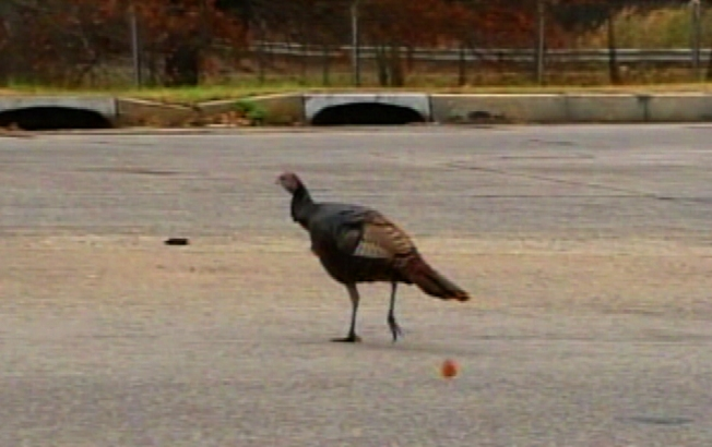 Tammy the Turkey Too Tough for Turnpike