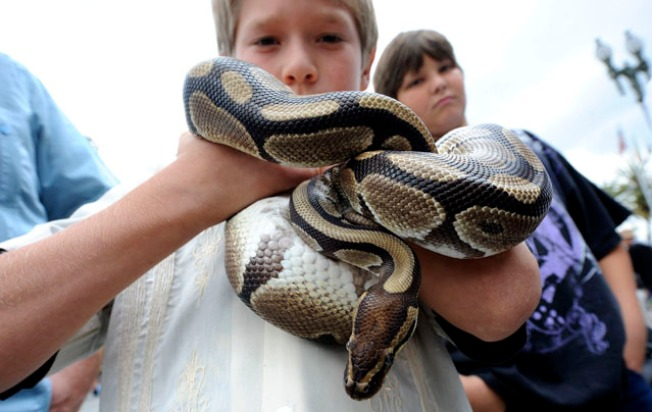 Burmese Pythons Wanted Dead or Alive