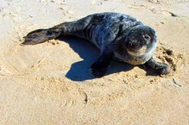 Rehabilitated Gray Seal Returns Home