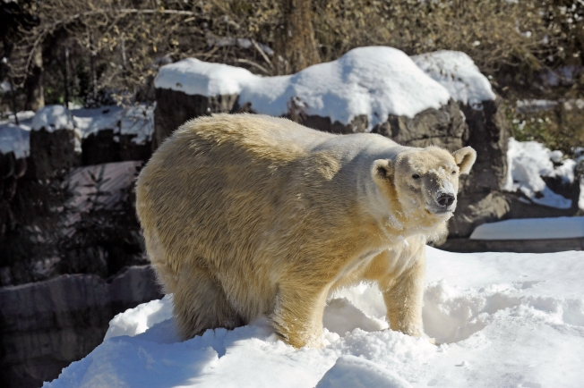 Central Park Zoo Polar Bear Dies
