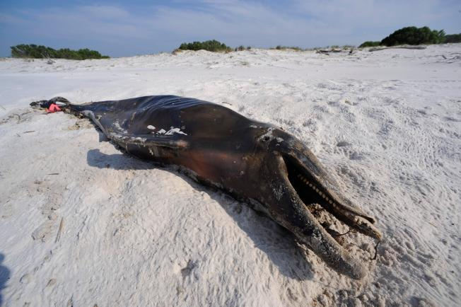 Dolphin Deaths Declining for First Time Since BP Oil Spill