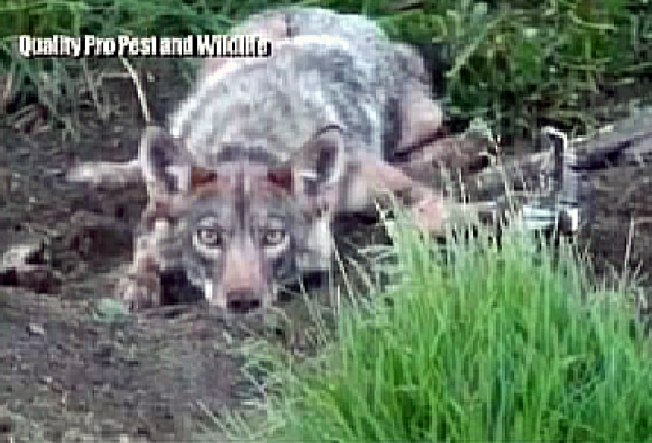 Rye Residents Warned to Be on the Lookout for Coyotes