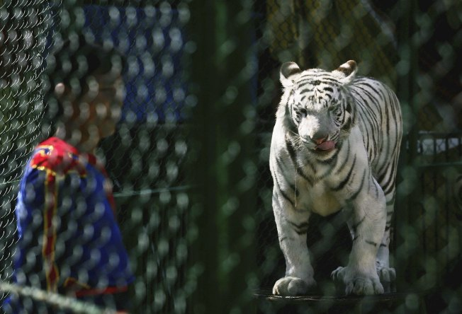 "Tiger Kills Man on ""Great Wall"" Descent"