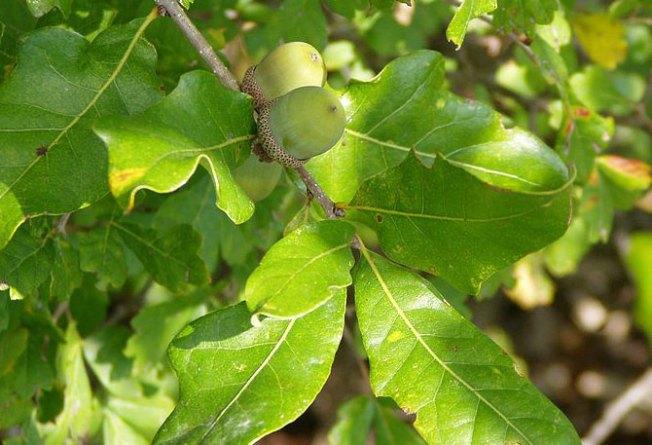 An Obituary for Douglaston's Great White Oak