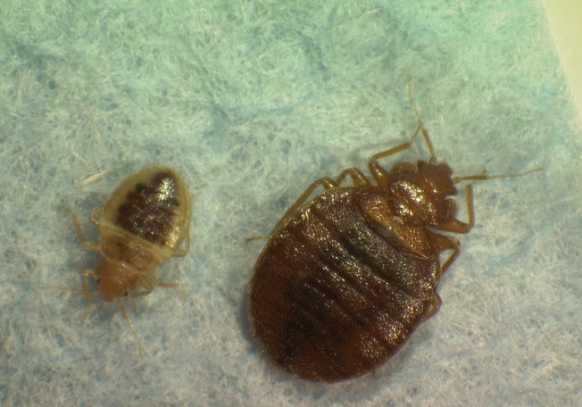 Horror Show: Bedbugs Hit NYC Theaters
