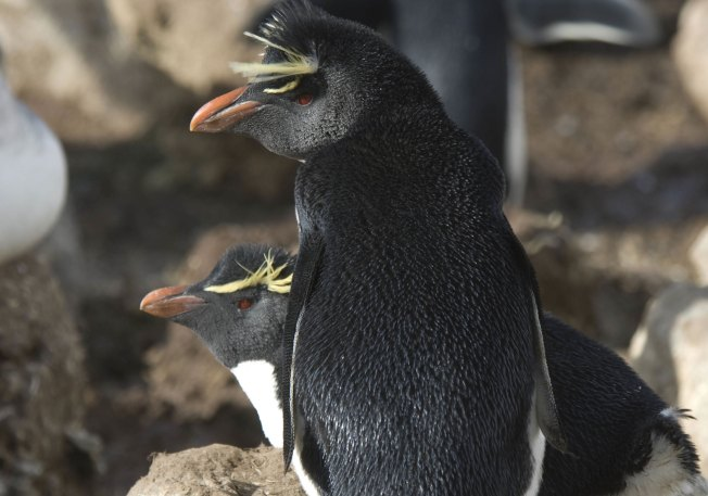 Happy Feet:  WCS Agreement Protects Argentine Penguins