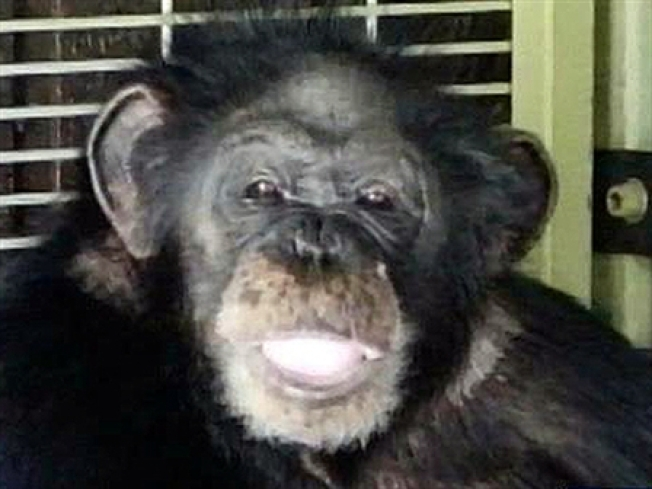 Biologist Warned of Chimp Attack