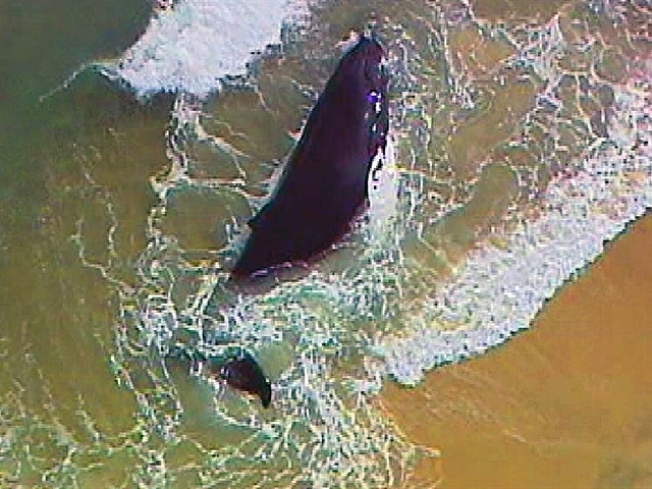 Cops Hunt Tranquilizer Dart Lost in Efforts to Euthanize Whale
