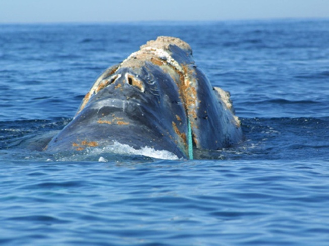 Right Whale in Wrong Weather for Rescue