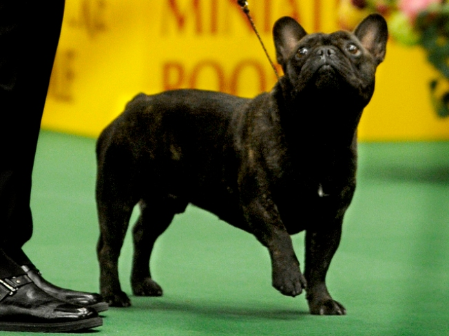 One Step Closer to Best in Show at Westminster