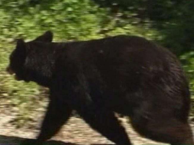 The Bear Essentials - Surviving the Season