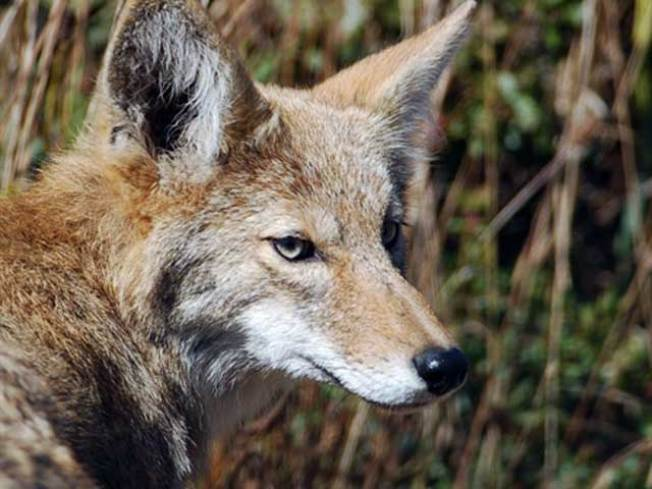 Coyote Attacks Woman Walking Dog in Rockland County