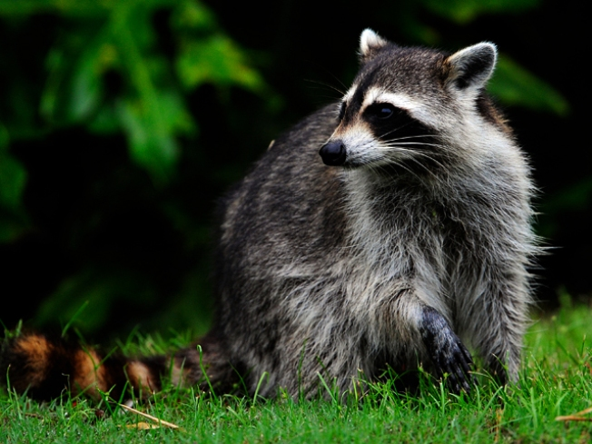 Rabid Racoons Taking Over Central Park