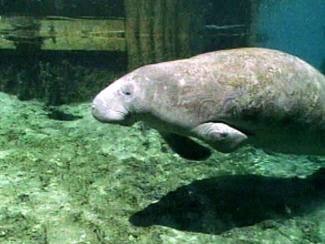 Manatee in Manhattan: Keys Creature Travels to Big Apple
