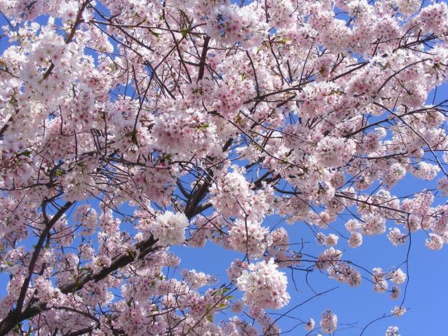 Cherry Blossom Watch: Brooklyn