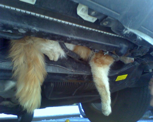 Bronx Cat Gets Stuck in Car Engine, Survives