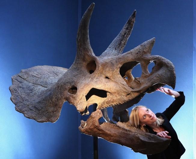 Triceratops Skull, Skeleton Dug Up in Colorado