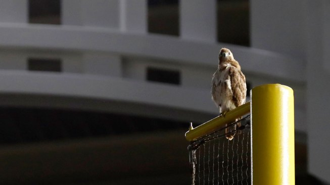 Bird's-Eye View: Red-Tailed Hawk Perches at Yankee Stadium