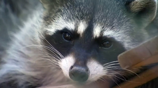 NJ Town Issues Rabies Warning After Raccoon Tests Positive for Virus