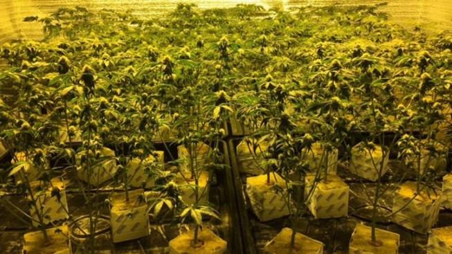 266 Pot Plants Seized in Million-Dollar New Jersey Office Park Bust