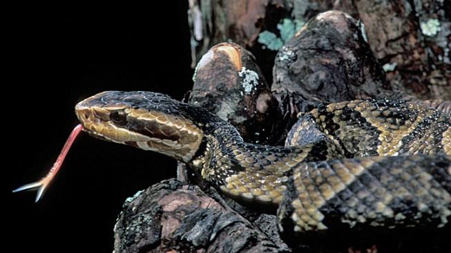 Man Hurled Venomous Snake into Rival's Truck: Cops