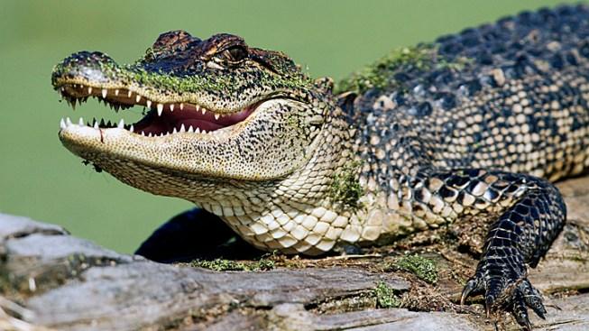 Alligator Visits La. Motel, Bites Guest