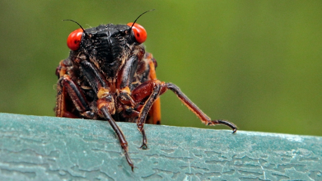 Conn. Chef Psyched to Feast on Cicadas