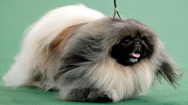 Pekingese Wins Top Prize at Westminster Dog Show