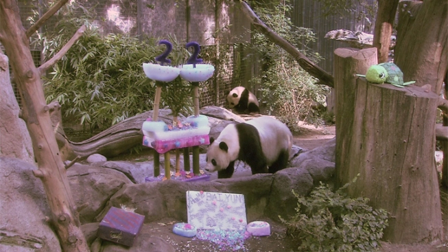 Panda Mom Celebrates 22nd Birthday With Giant Ice Cake