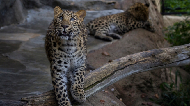 Leopard Kills Possible Mate at Zoo
