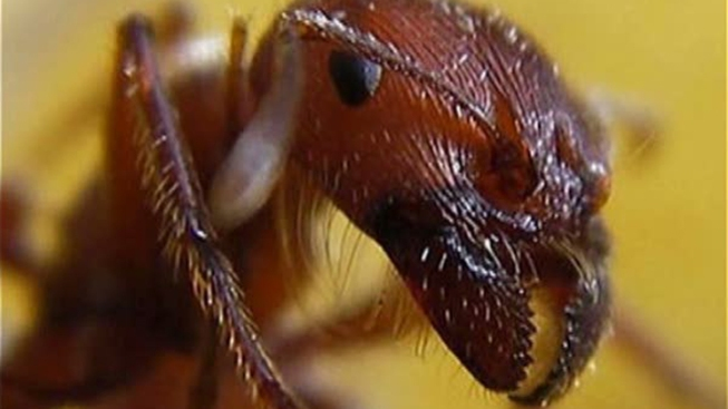 NYC Ants Eat Thousands of Pounds of Trash, Keep Rats at Bay: Study
