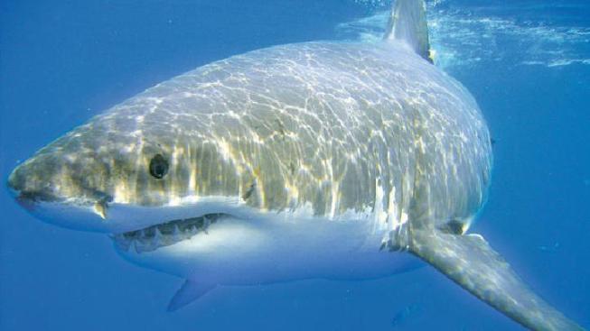 Great white shark spotted off nj coast nbc new york audio fisherman reports great white off nj coast publicscrutiny Gallery