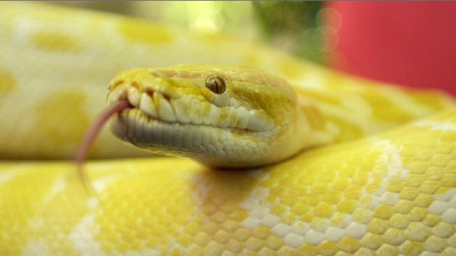 """""""Snakes on a Plane"""" Plight Forces Flight to Land"""