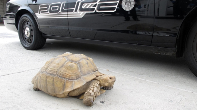 150-Pound Tortoise Taken in by Police
