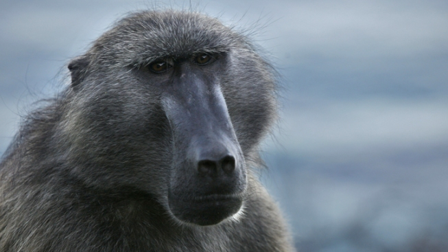 Escaped Baboon Captured in NJ