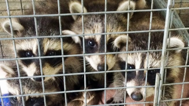 5 Baby Raccoons Mysteriously Left on Doorstep With Toys, Milk in New York
