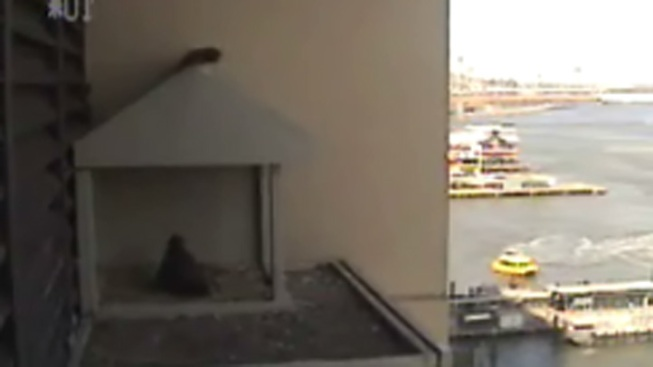 4 Baby Falcons Hatch at Downtown Skyscraper