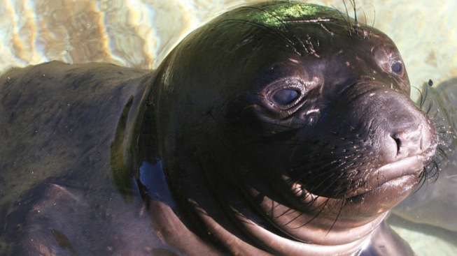 Baby Seal Wanders Into Home, Lounges on Couch