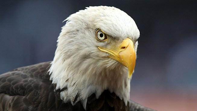 Bald Eagle Shooter Sought; $2K Reward Offered