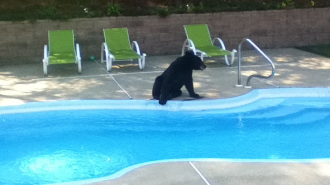 Black Bear Tries to Beat the Heat by Morristown Pool